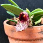 Bulbophyllum frost ランの原種 フロスティ