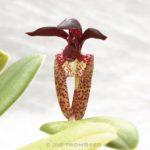 バルボフィラムの原種 ラシオチラムの花