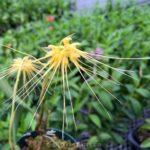 Bulbophyllum vaginatum ランの原種 ヴァギナタム