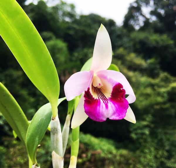 Laelia dayana cattleya orchid flower