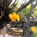 Dendrobium hancockii orchid flower 竹葉石斛