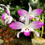Dendrobium linawianum orchid flower