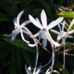Vanda falcata orchid flower