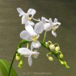 胡蝶蘭原種 エクエストリス アルバ 白花