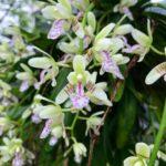 日本の野生ラン ナゴラン(名護蘭)の花