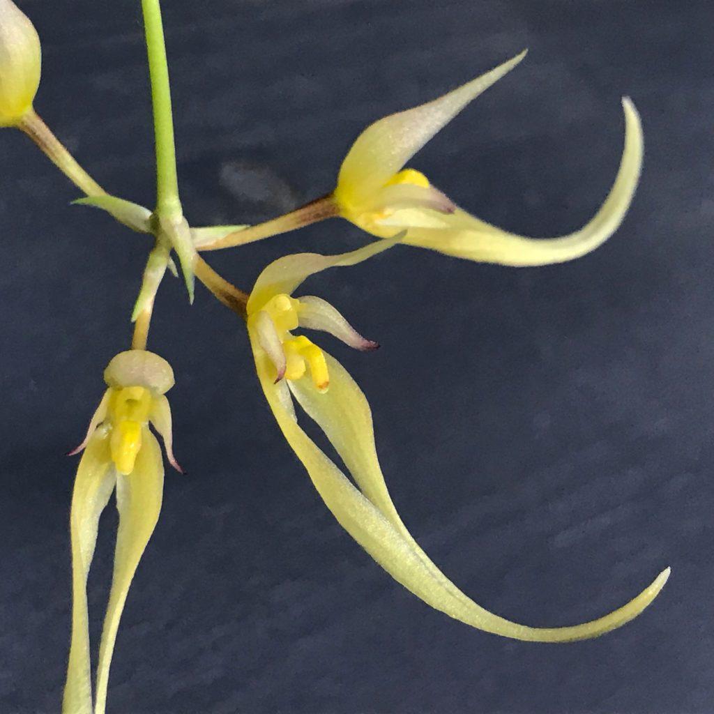 Bulbophyllum macraei orchid flower