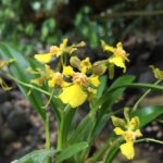 Oncidium longipes orchid flower