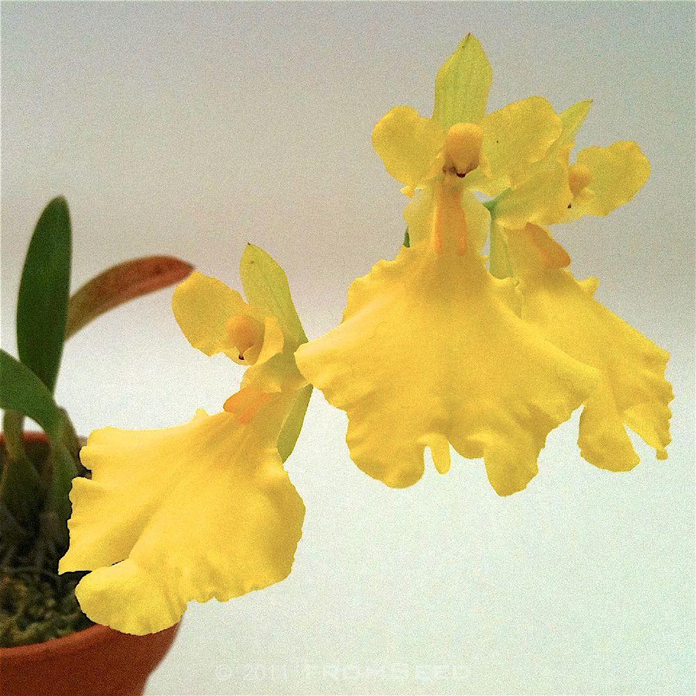 オンシジュームの原種 コンカラー 花