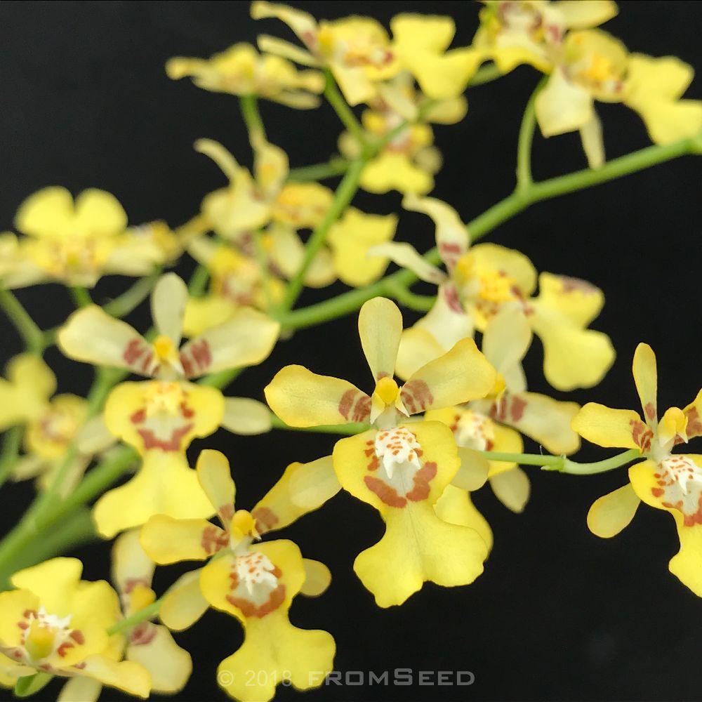 オンシジュームの原種 オブリザタムの花