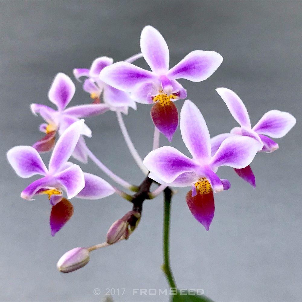 胡蝶蘭原種エクエストリスの花