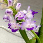 Rhynchostylis coelestis orchid flower