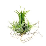 air bromelia airplants