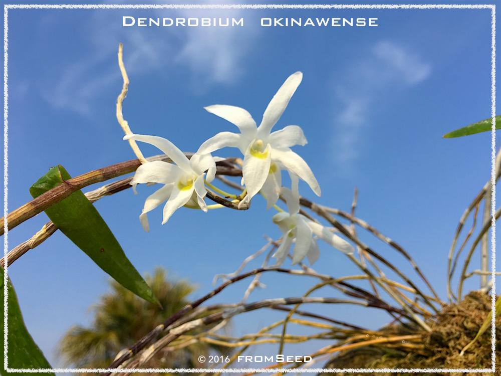 オキナワセッコク 開花