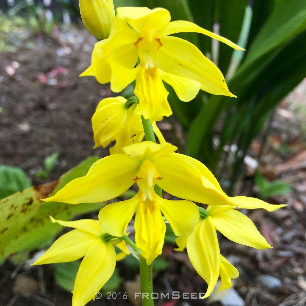 キエビネ(黄海老根)の開花