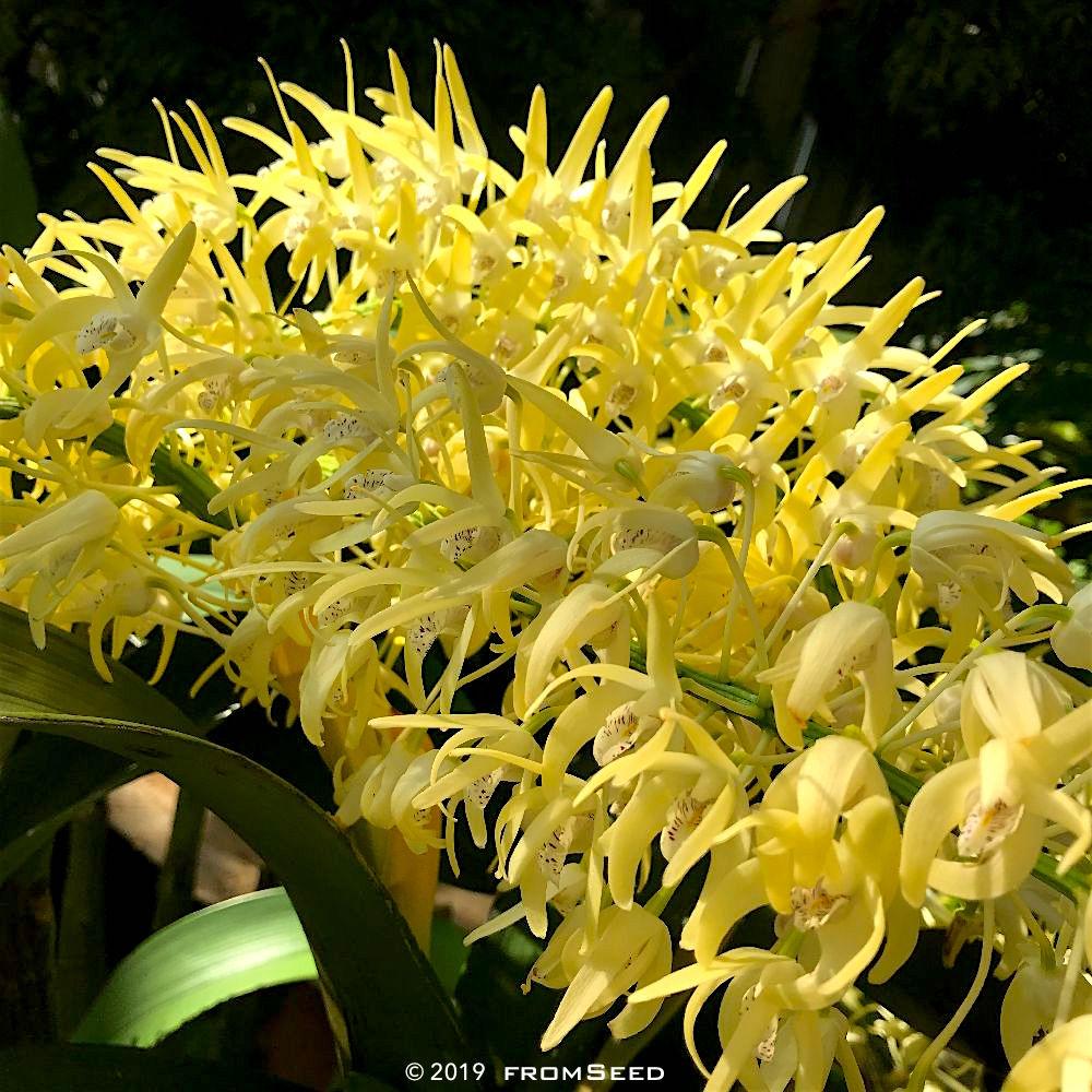 デンドロビューム スペシオサムの花