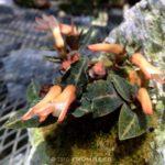 ベニシュスランの開花 (軽石鉢植え)