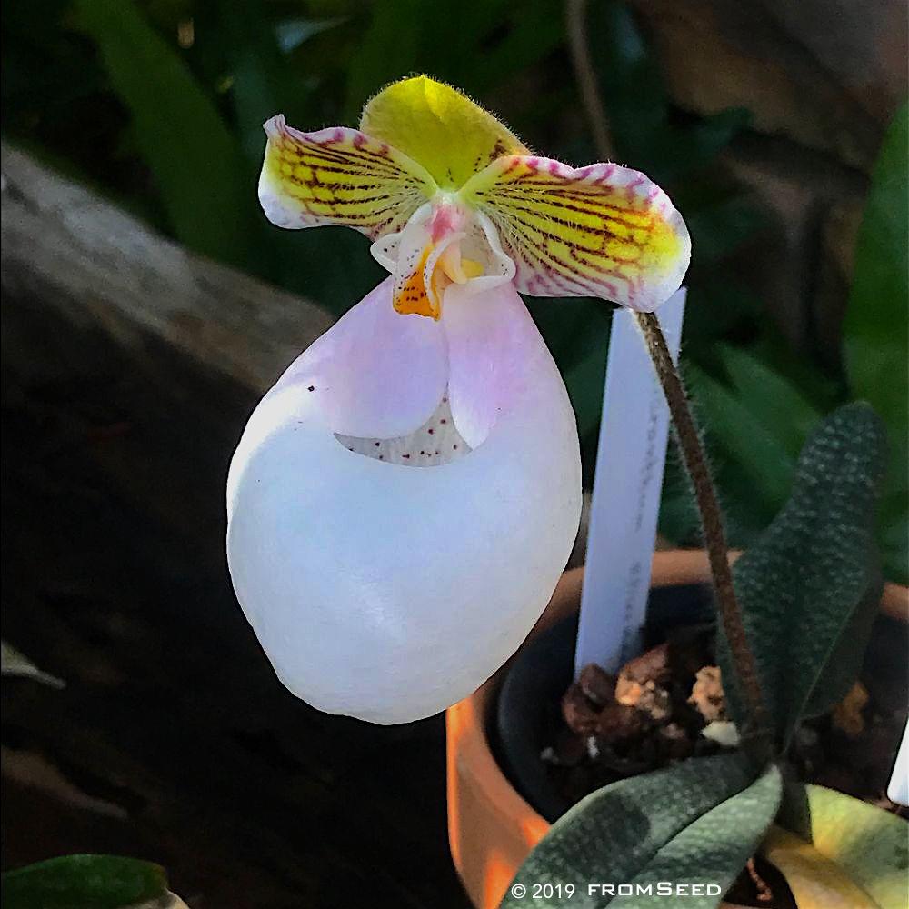 パフィオペディラム ミクランサムの花