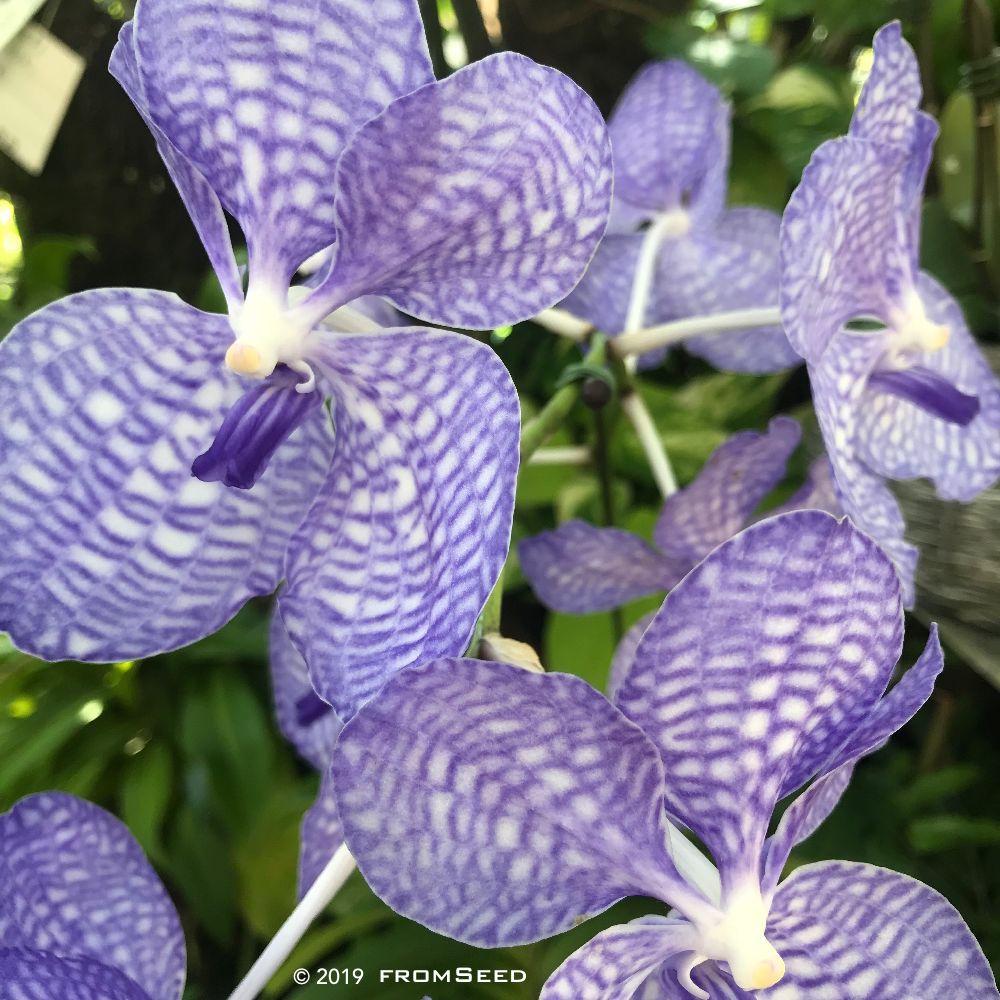 バンダ セルレアの花