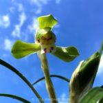 シュンラン(春蘭)の開花