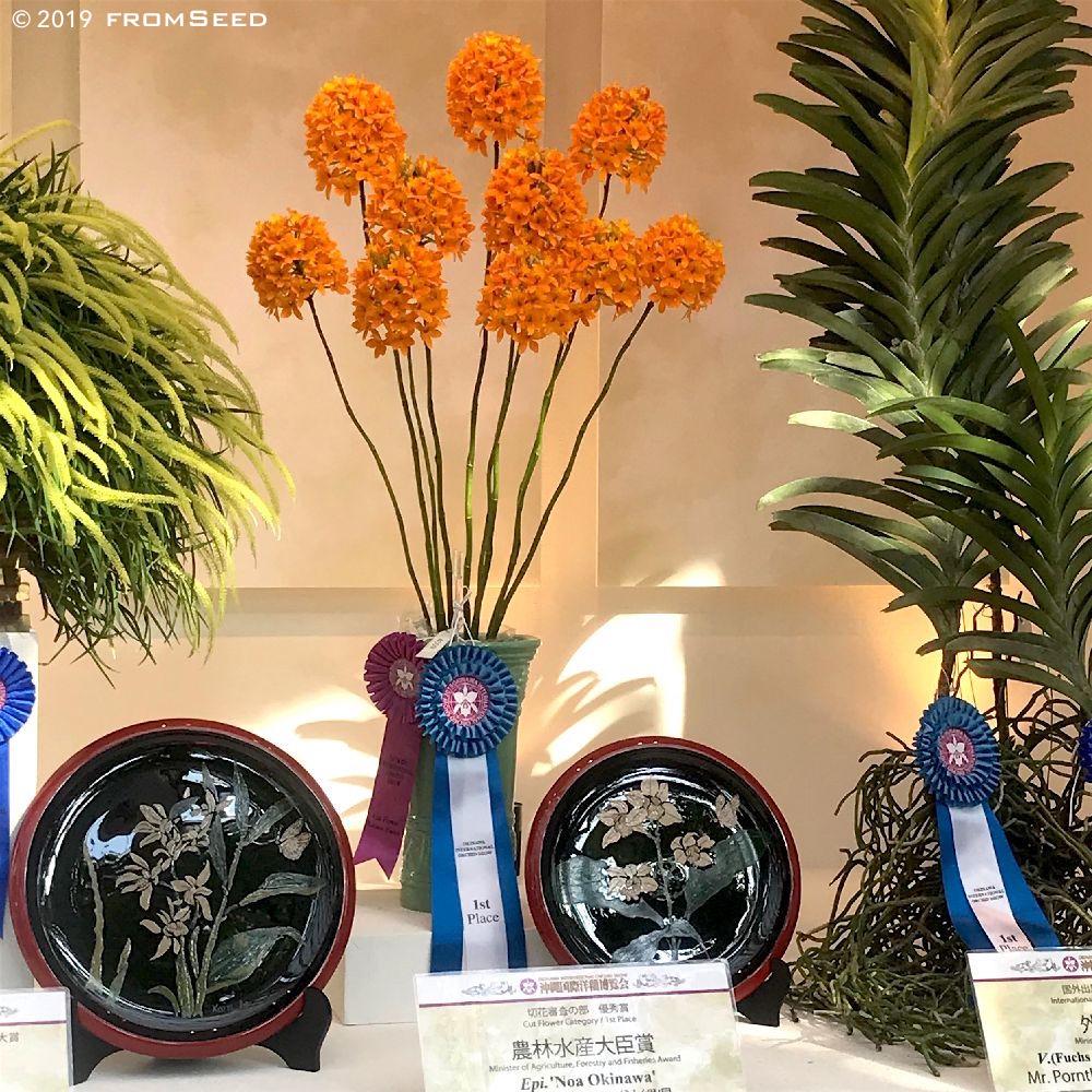 Epidendrum Hybrid 'NOa Okinawa'