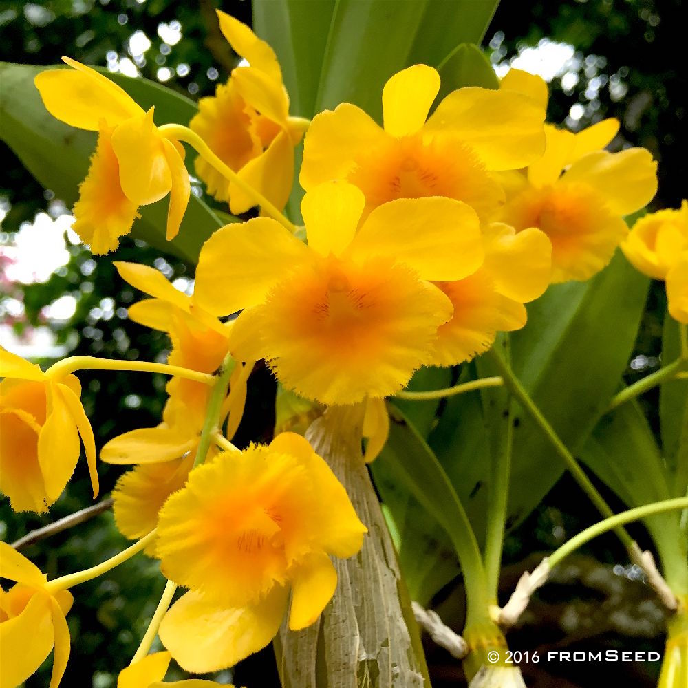 Dendrobium chrysotoxum orchid flower