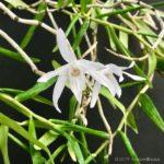 Dendrobium okinawense × sib. (seedling)