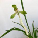 Cymbidium goeringii 春蘭