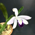 Cattleya (Laelia) perrinii × sib. (coerulea × semi-alba)