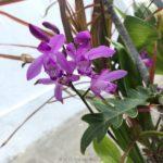Bletilla striata (紫蘭)