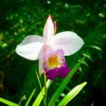 Arundina graminifolia 成屋蘭(ナリヤラン)