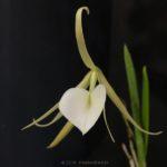 Brassavola nodosa (Rhyncholaelia nodosa)