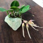 Bulbophyllum macraei (指甲蘭)