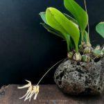 Bulbophyllum macraei 指甲蘭(シコウラン:種子島産実生)