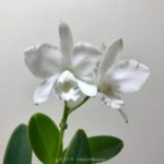 Cattleya White Bridal