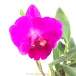Cattlianthe (Sophrolaeliocattleya) Pixie Lair 'Apollon' BM/JOGA