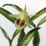 Coelogyne uniflora (variegated leaf )