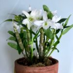 Dendrobium Angel Baby 'Green Ai'