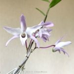 Dendrobium moniliforme (seedling)