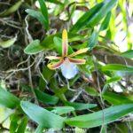 Dinema polybulbon (Epidendrum polybulbon)