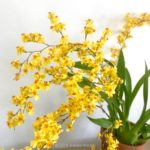 Oncidium Twinkle 'Golden Fantasy'