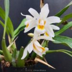 Coelogyne Intermedia (Coel. cristata × massangeana)