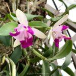 Cattleya intermedia (sibling : cross var. orlata × aquinii) (seedling)