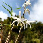 Dendrobium okinawense × Dendrobium Hybrid (Red Flower) (seedling)