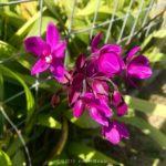 Spathoglottis plicata (紅頭紫蘭)