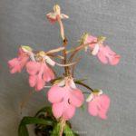 Habenaria Regnieri (carnea × rhodocheila)