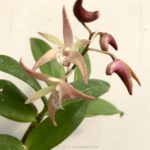 Dendrobium Shiroboshi 白星